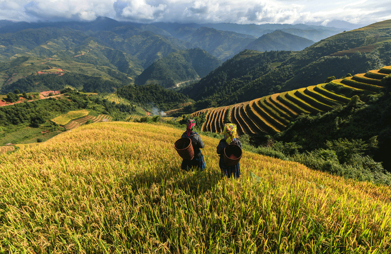 Terraced Rice Fields in Sapa, Vietnam